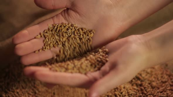 Thumbnail for Female hands touching wheat grain gently, good results of harvesting campaign