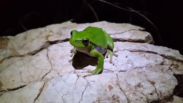 Cover Image for Green tree frog