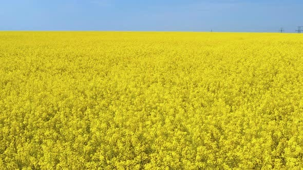 Cover Image for Blooming Rapeseed Field