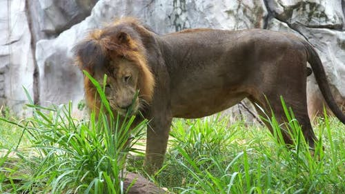 male lion eating a grass in field