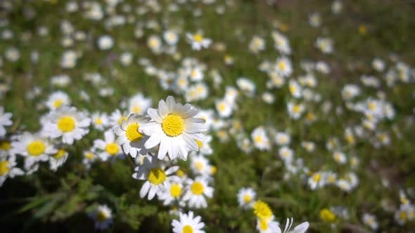Thumbnail for White Daisy Flower In Nature