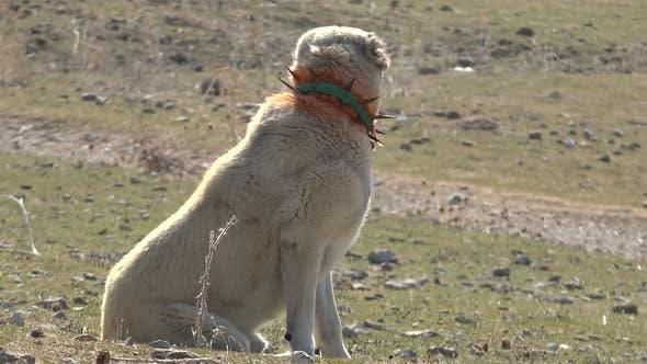 Shepherd Dog in Steppe Pasture in Village