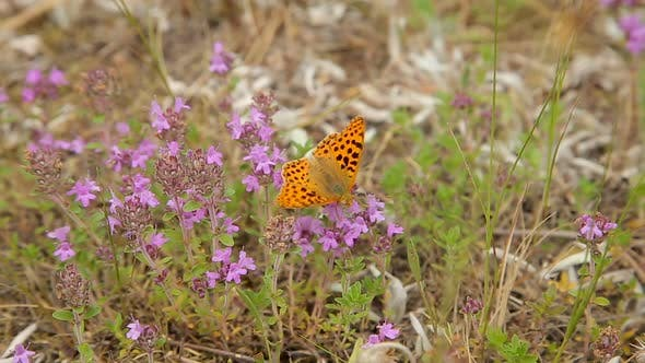 Thumbnail for Butterfly on Wildflowers in the Field