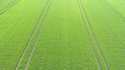 Tractor tires marks in the field of wheat 4K aerial video