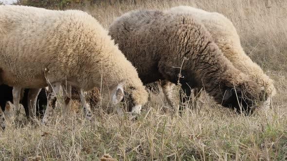 Thumbnail for Fütterung in der Natur verschiedene Schafe Gruppe 4K 2160p 30fps UltraHD Filmmaterial - Gemischte weiße und schwarze Farbe
