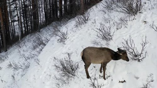 A Baby Wild Maral Grazes in the Forest in Winter