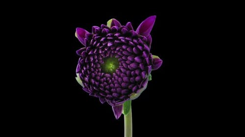 Time-lapse of blooming purple dahlia