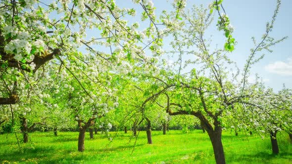 Thumbnail for Apple blossoming orchard