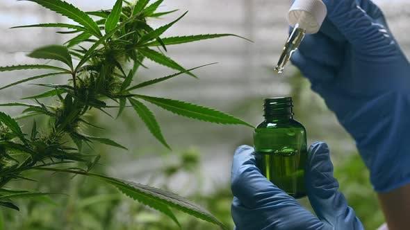 Cinematic shot of marijuana cannabis weed plants growing farm. Shot in 4K
