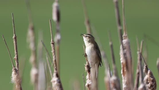 Thumbnail for Small song bird Sedge warbler, Europe wildlife