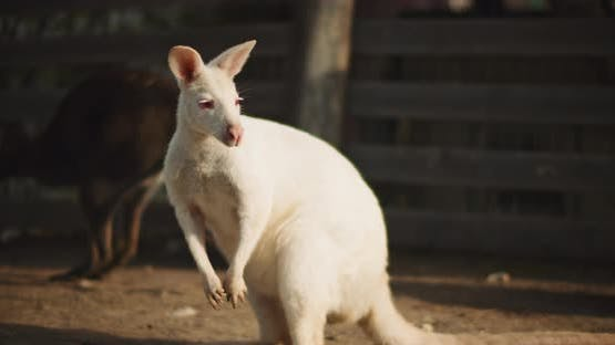 Close up of Adult albino red-necked wallaby on a farm