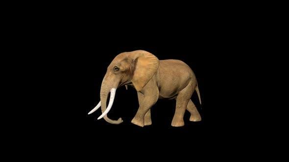 Thumbnail for 4K Circus Tiny Elephant Walk