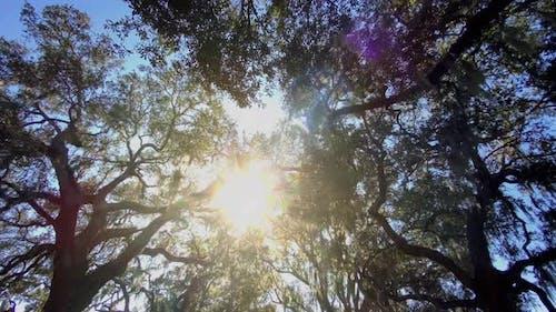 Looking up at the Live Oak trees in Savannah Georgia