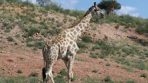 cute Giraffes South Africa wildlife
