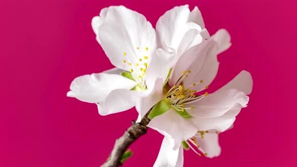 Thumbnail for Almond Flower Blossom Dolly Timelapse 3