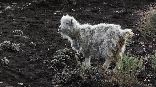 Thumbnail for White Curly Sheep on a Hill. Curly Long Hair.
