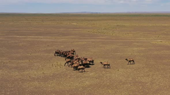 Thumbnail for Aerial View of Bactrian Camels in Mongolia