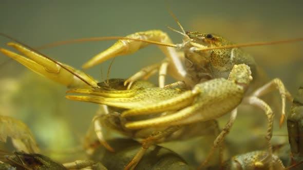 Close Up of Live Crayfish on Sale in Aquarium