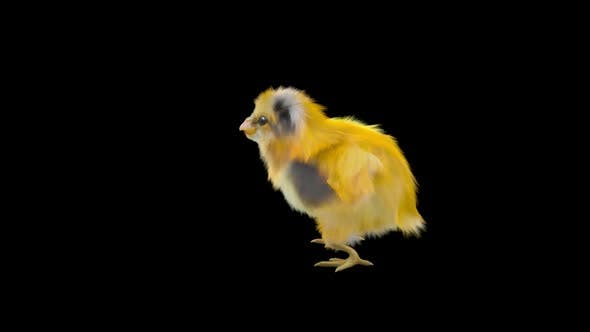 12 Baby Chicks Dancing HD