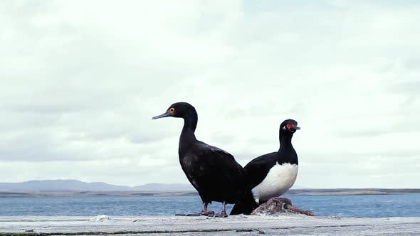Thumbnail for A Couple of Magellanic Cormorants spotted on a Rock in Falkland Islands (Malvinas).