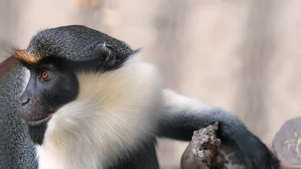 Diana Monkey Observes Surroundings in Animal Fauna Park Zoo