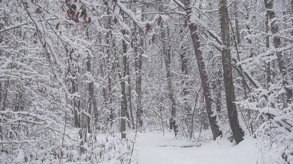 Thumbnail for Beautiful Winter Forest, Fresh White Snow Falls.