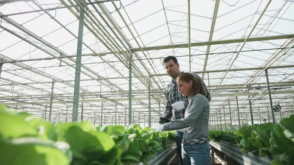 Cover Image for Agronomy Engineers Checking a Production of Organic Green Salad