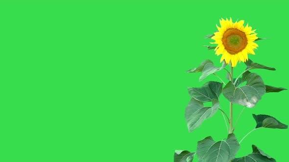 Thumbnail for Sunflower On Green 3