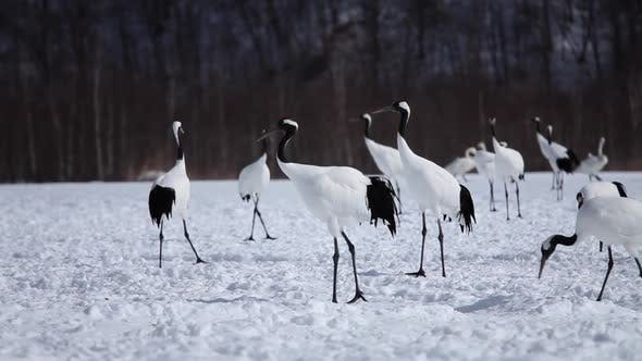 Thumbnail for Japanese Cranes Hokkaido Japan