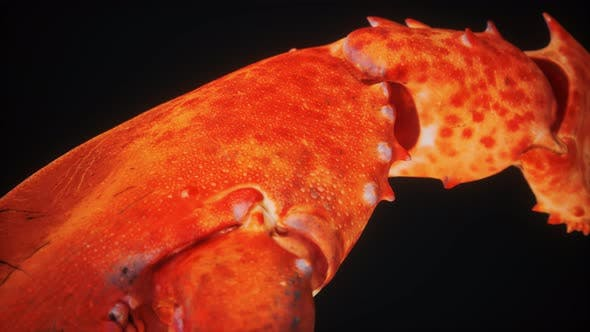 Thumbnail for Lobster Claw in Macro