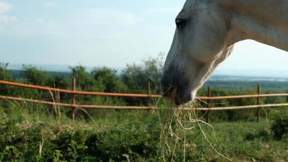 Thumbnail for The Head of a White Horse Close-up Chewing Hay.