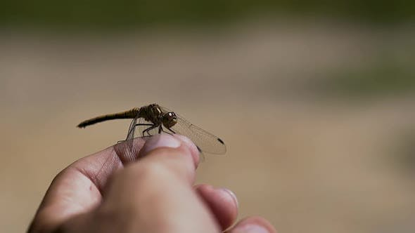 Thumbnail for Close-up, Slow Motion: Dragonfly Sits on Finger, Then Flies Away.