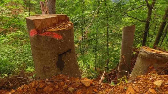 Thumbnail for Stumps Near Path in the Forest