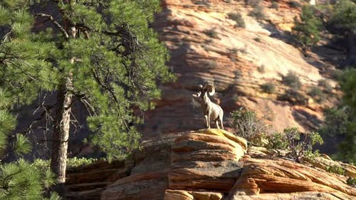 Bighorn Sheep standing on top of a rock