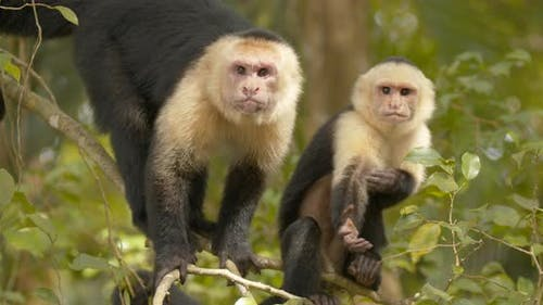 White-faced Capuchin Adult Immature Pair Monkeys Yawning Open Mouth Teeth