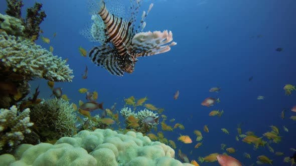 Cover Image for Tropical Coral Reefs Lion-Fish
