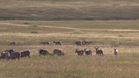Bighorn Sheep Herd and Pronghorn Antelope North American Grasslands Prairie