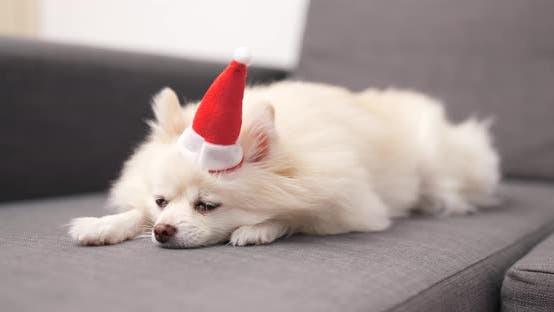 Thumbnail for Weißer Pommern Hund mit Weihnachtsmann-Hut