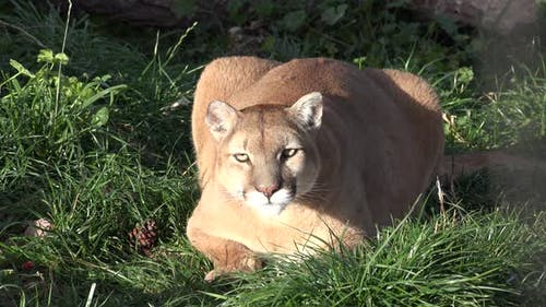 Mountain Lion Adult Lone Resting in Autumn Crouching in South Dakota