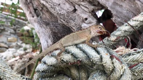 Lizard sitting on a rope eating a bug