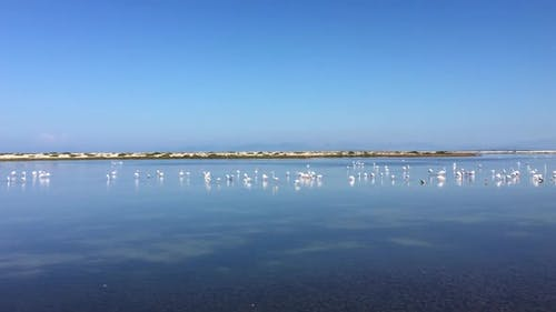 Flamingo in the Pond. Migration Season For Birds