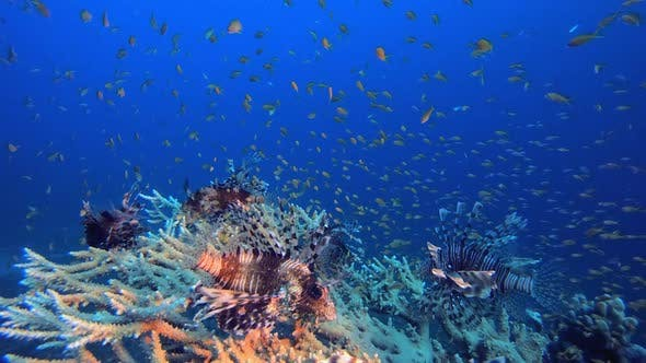 Thumbnail for Underwater Vibrant Red Sea Lionfish