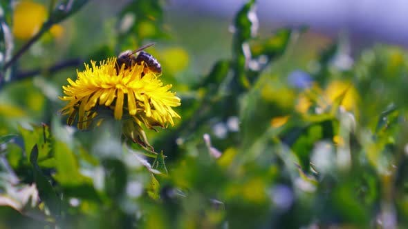 Thumbnail for Honey Bee Pollinating Wild Dandelion Flower.