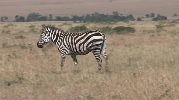 Thumbnail for Zebra Walking on The Savanna
