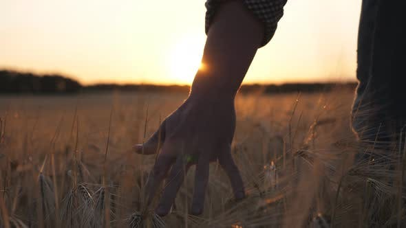 Thumbnail for Close Up Male Arm of Agronomist Walks Through the Cereal Field and Touches with Hand Golden Ears of
