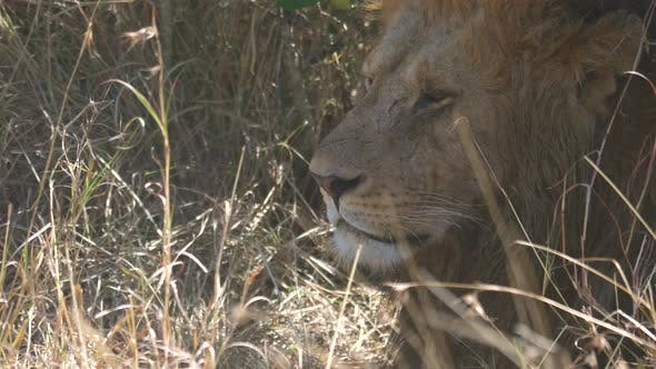 Thumbnail for Close up of an African lion