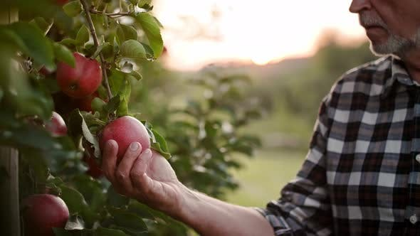 Thumbnail for Handheld video shows of farmer controlling his apple plantation