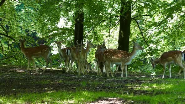 Thumbnail for Herd of deer in the forest of Arhus