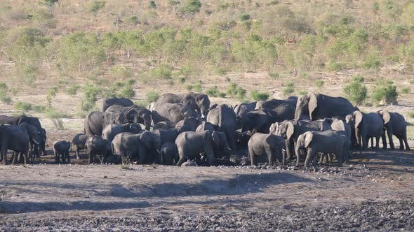 Big herd of African Bush elephants