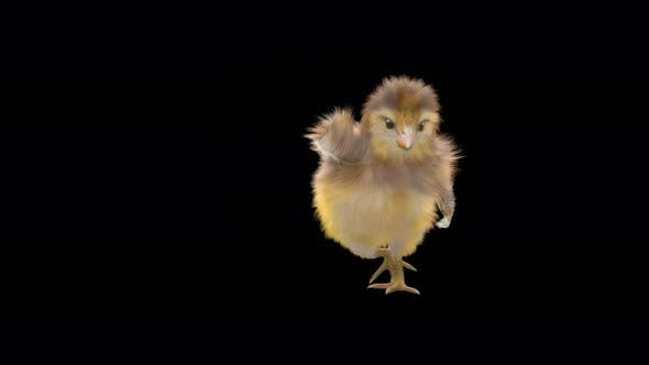 11 Baby Chicks Dancing 4K